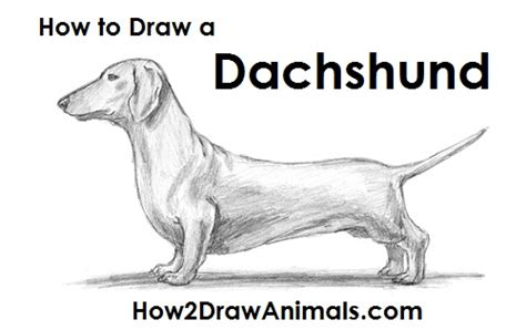how to a dachshund puppy the gallery for gt walrus pencil drawing