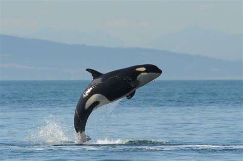 Whale L could naval activities threaten orca recovery beam reach