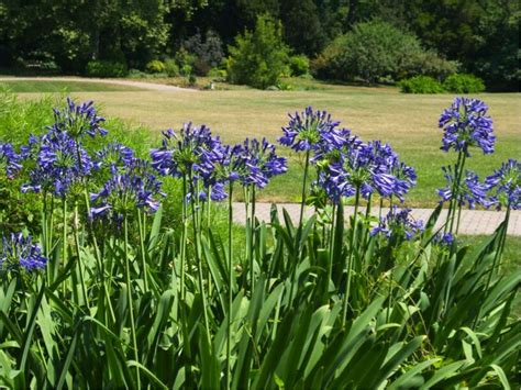17 best images about agapanthus on pinterest gardens perennials and agapanthus africanus