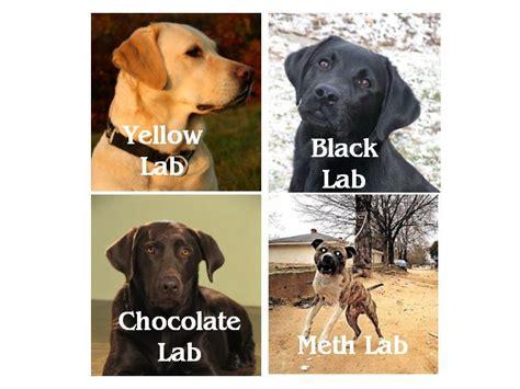 Chocolate Lab Meme - meth lab dog memes