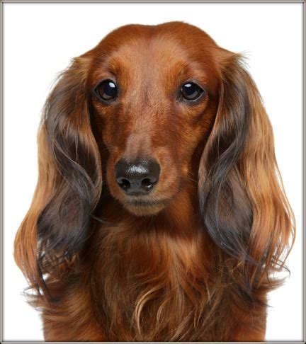 hair weiner haired dachshund