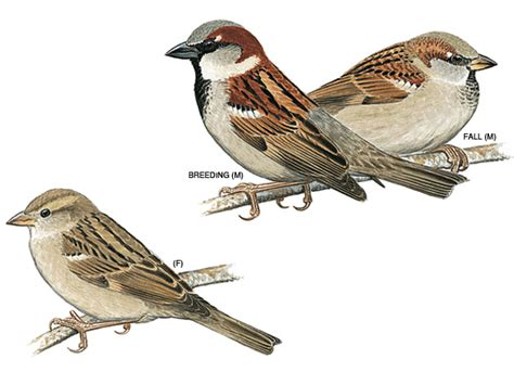 did you know the english sparrow was imported to new york