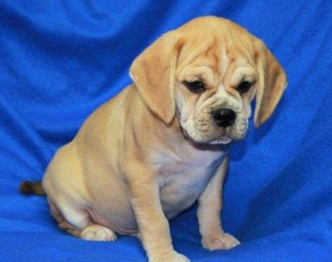puggle puppies for adoption potty trained puggle puppies cutest pets adoption puggle puppies and
