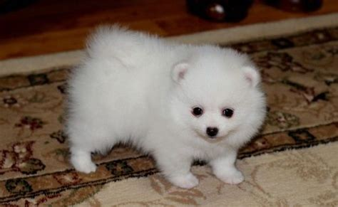 puppies for sale in fort myers quality pomeranian puppies available fort myers florida pets for sale classified ads