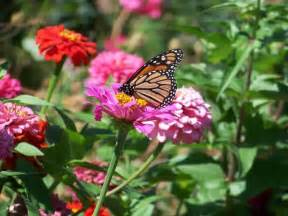 Flowers For Butterfly Garden Monarch On Zinnia Butterfly Garden For Humans And