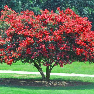 flowering shrubs for sale crape myrtle trees for sale flowering trees moon