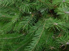 Garden Pests Identification - christmas trees the plant shed