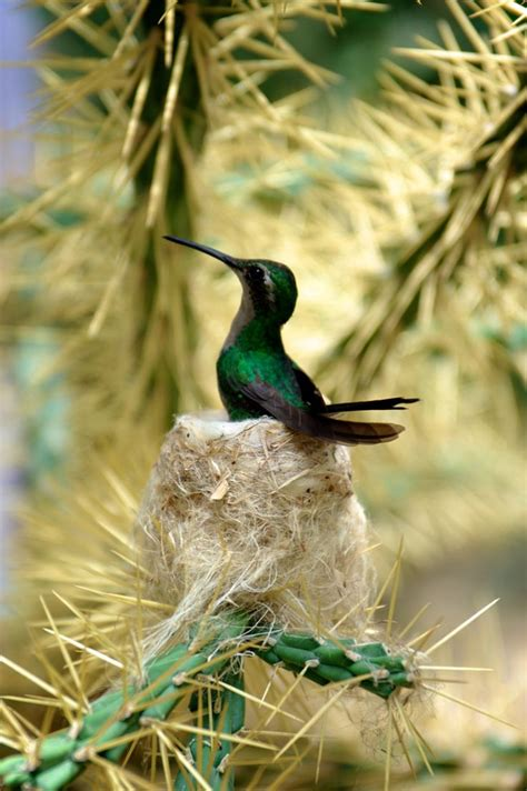 mating habits of hummingbirds 78 best images about hummingbird nests on