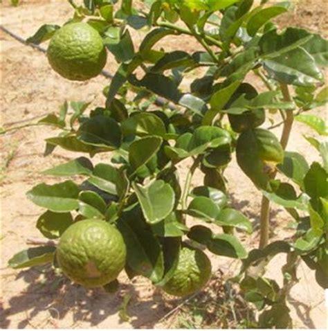 Pohon Jeruk Lemon By Alirashop gendut sapa takut februari 2013