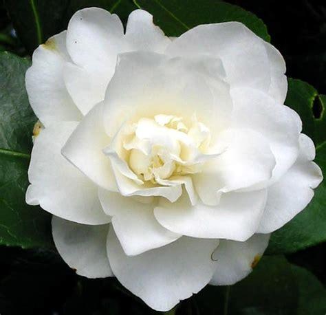 Chelsea Years Big Putih white camellia