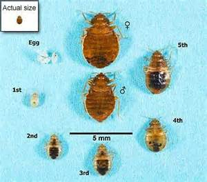 what color is a bed bug bed bugs appearance and cycle bed bugs get them