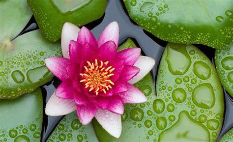fior di loto immagini fiore di loto propriet 224 curative