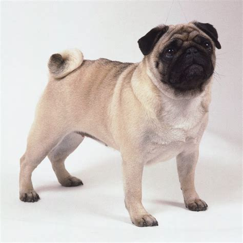 dogs for sale in pug dogs for sale