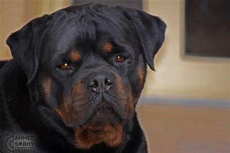 pitbull vs rottweiler big rottweiler vs pitbull www pixshark images galleries with a bite