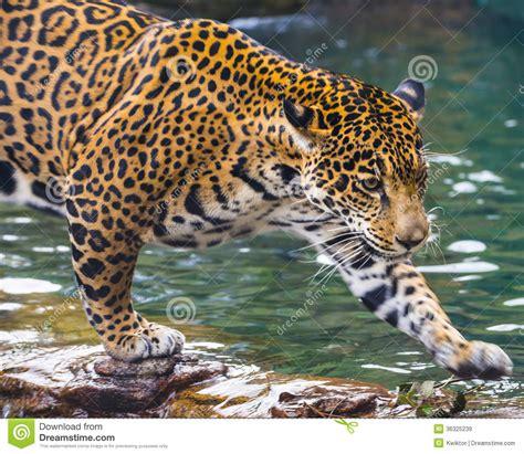 jaguar pattern house cat young jaguar cat stock image image of wild predator