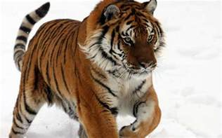 tiger species tiger facts and information