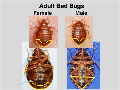 male and female bed bugs bed bug biology and research central ohio bed bug task force