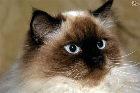 himalayan cats himalayan cat breed information buying advice photos and