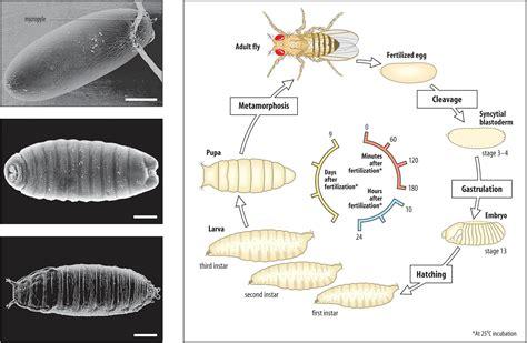 pattern formation in the drosophila retina drosophila embryo at wake forest university studyblue