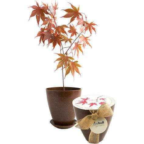 Japanese Maple Tree   Rice Hull Growing Kit   The Green Head