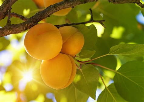fruit trees names viva la frutta how to say the names of fruit trees