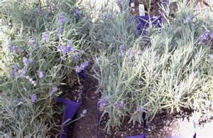 plants discover lavender