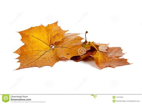 Golden Fall Leaves On A White Background Stock Photos Fall Leaves On White Background