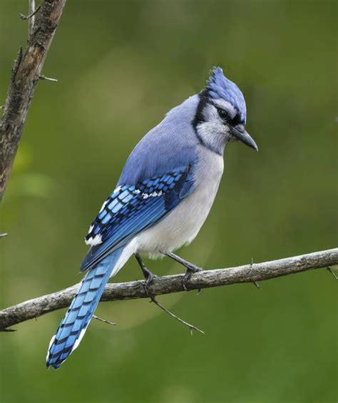 los azulejos aves hermosas batanga