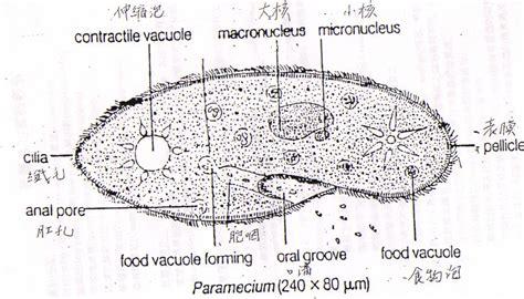 paramecium diagram paramecium cell diagram images