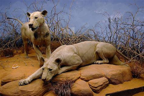 tigre persiana 한겨레 환경생태 전문 웹진 물바람숲 135명을 먹었다고 차보 사자 를 위한 변명