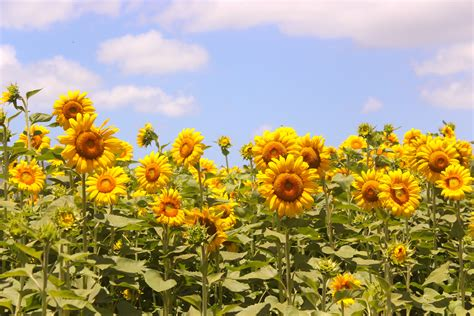 sunflower fields sunflower field our adventure our story
