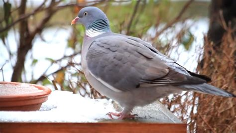 wo pigeon big dove feeding bird food winter stock