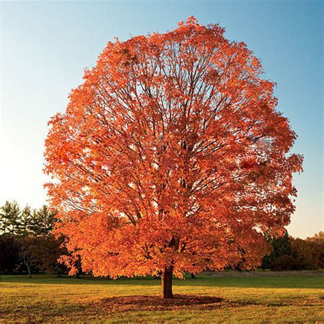 new home garden plant 30 seeds northern sugar maple acer saccharum rock maple fall colors tree