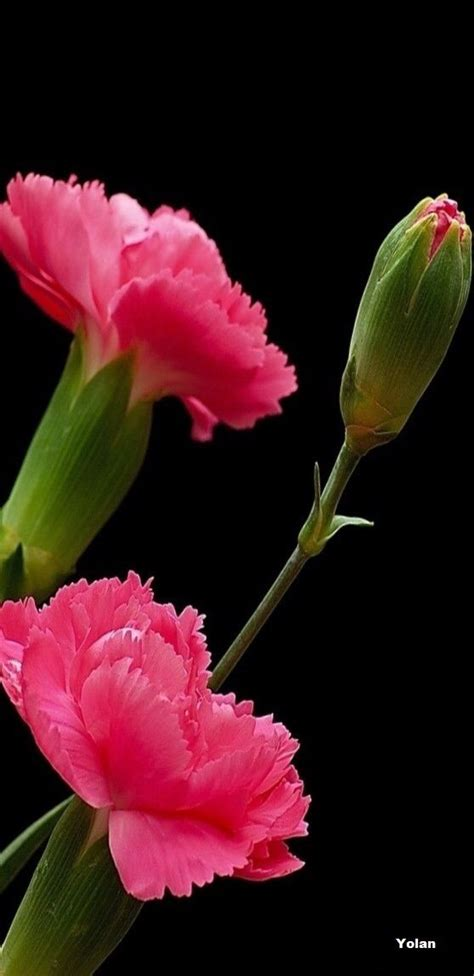 imagenes de rosas increibles m 225 s de 20 ideas incre 237 bles sobre claveles de color rosa en