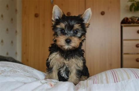black yorkie puppy black terrier puppy hull east of pets4homes