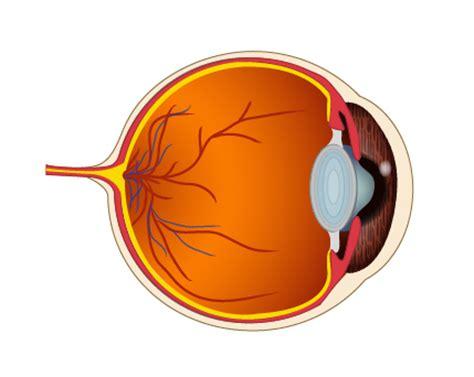 imagenes de ojos por dentro conectados en sexto thinglink en ciencias naturales