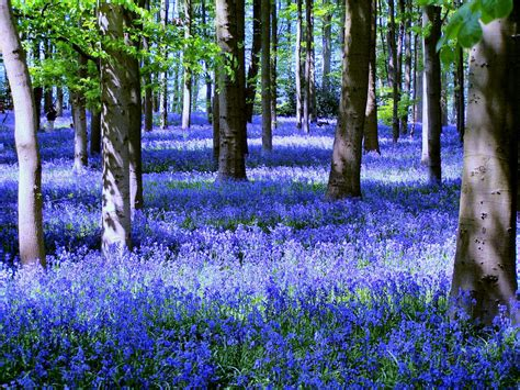 bluebell forest close your eyes and dream of england the wild bluebells