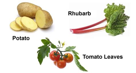 are tomatoes bad for dogs list of foods that are bad for dogs