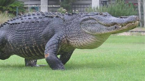South Carolina Dickies alligator strolls across south carolina golf course