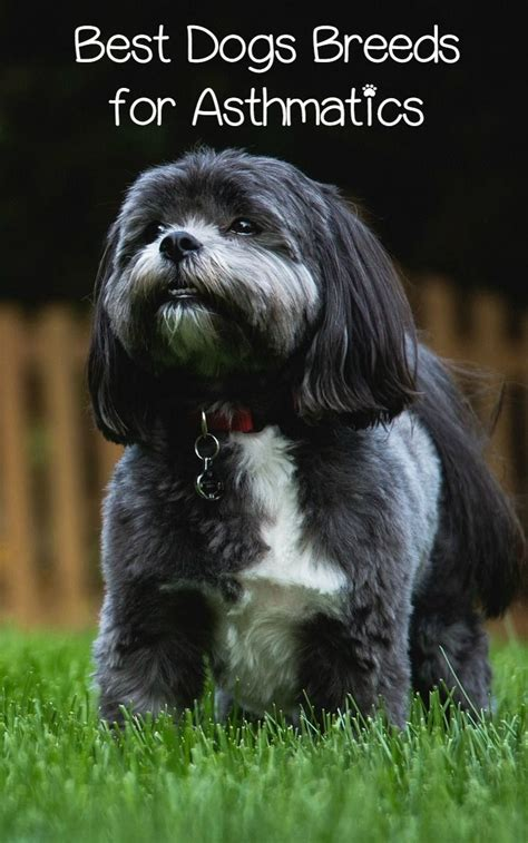 best dog breed for small house best 25 hypoallergenic dog breed ideas on pinterest