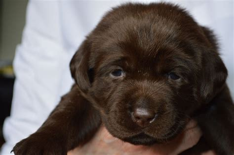 chocolate puppies pictures of chocolate labs puppies www imgkid the image kid has it