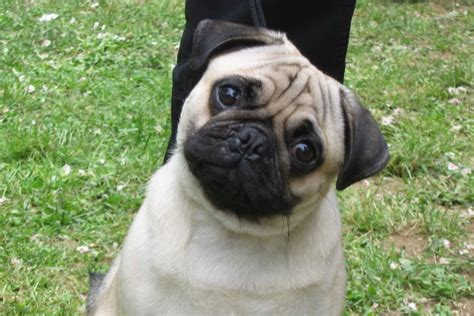 pug dogs 101 pug dogs and puppies wiki
