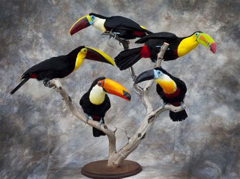 dead birds for sale for taxidermy jbtoucans jpg