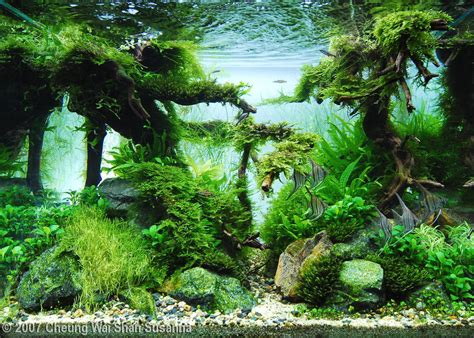 aquascape wallpaper 2007 aga aquascaping contest 6