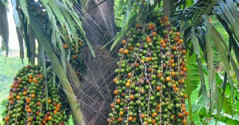 Bibit Pohon Aren jual bibit pohon aren kolang kaling di ngawi www