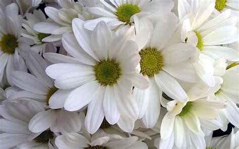 daisies flower flower homes daisies flowers