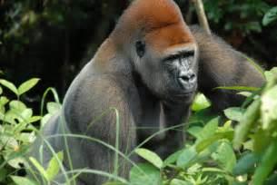 Jaguar Vs Gorilla Jungle Animals Real
