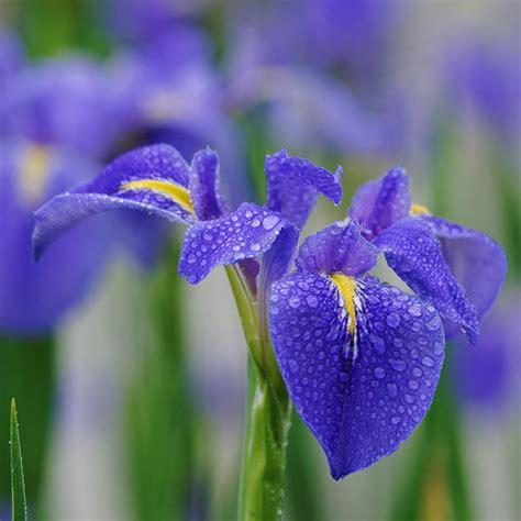 Butterfly Iris Blue T1310 3 egrow 20pcs pupper iris seeds tectorum maxim blue butterfly flower seeds at banggood