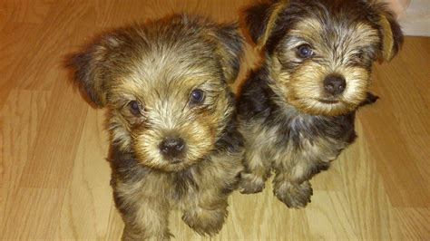 yorkie puppies for sale essex puppies for sale loughton essex pets4homes