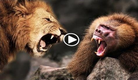 lion  baboon blogsupermovie